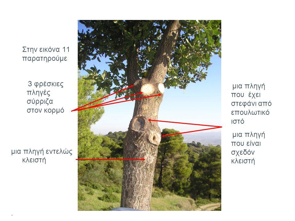 Εικόνα 12 Εικόνα 13 Στις εικόνες 12 και 13 παρατηρούμε ένα σπασμένο κλωνάρι πριν και μετά το κλάδεμά του