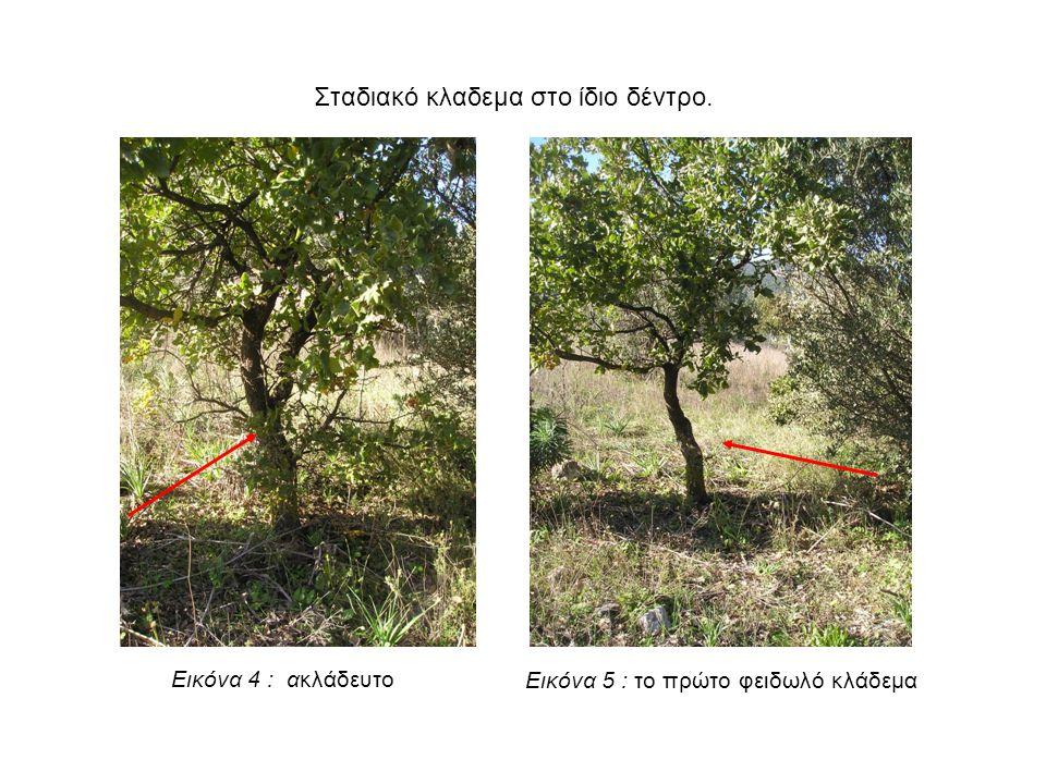 Εικόνα 5 : το πρώτο φειδωλό κλάδεμα Εικόνα 4 : ακλάδευτο Σταδιακό κλαδεμα στο ίδιο δέντρο.