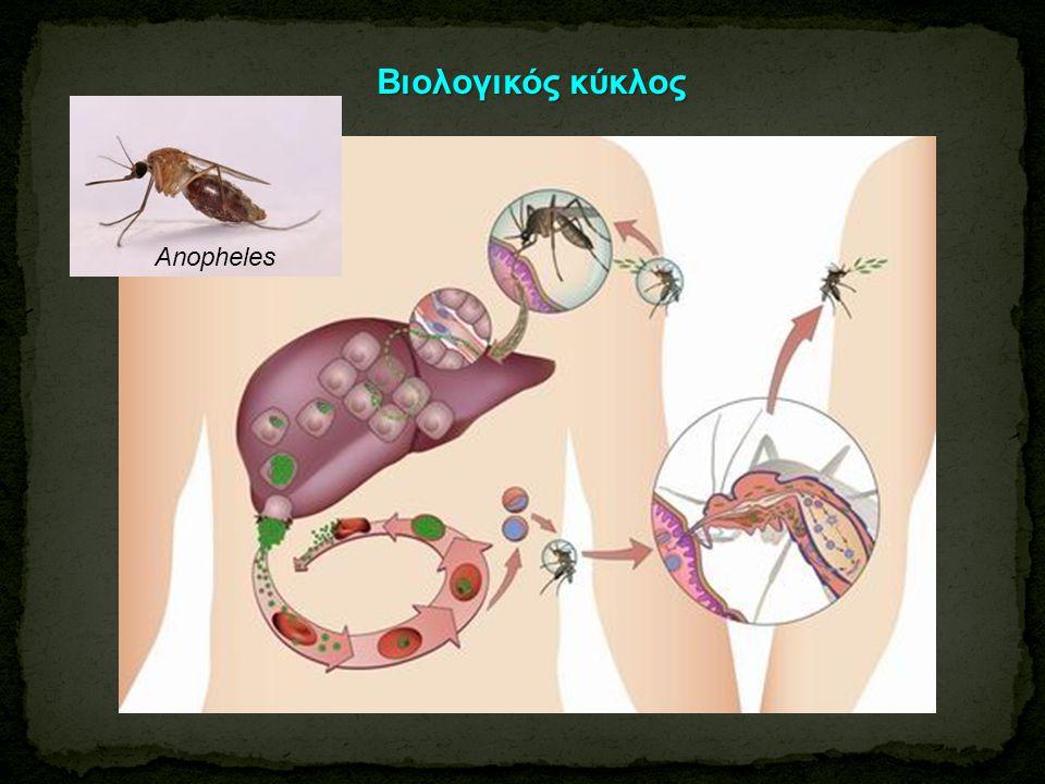 Βιολογικός κύκλος Anopheles