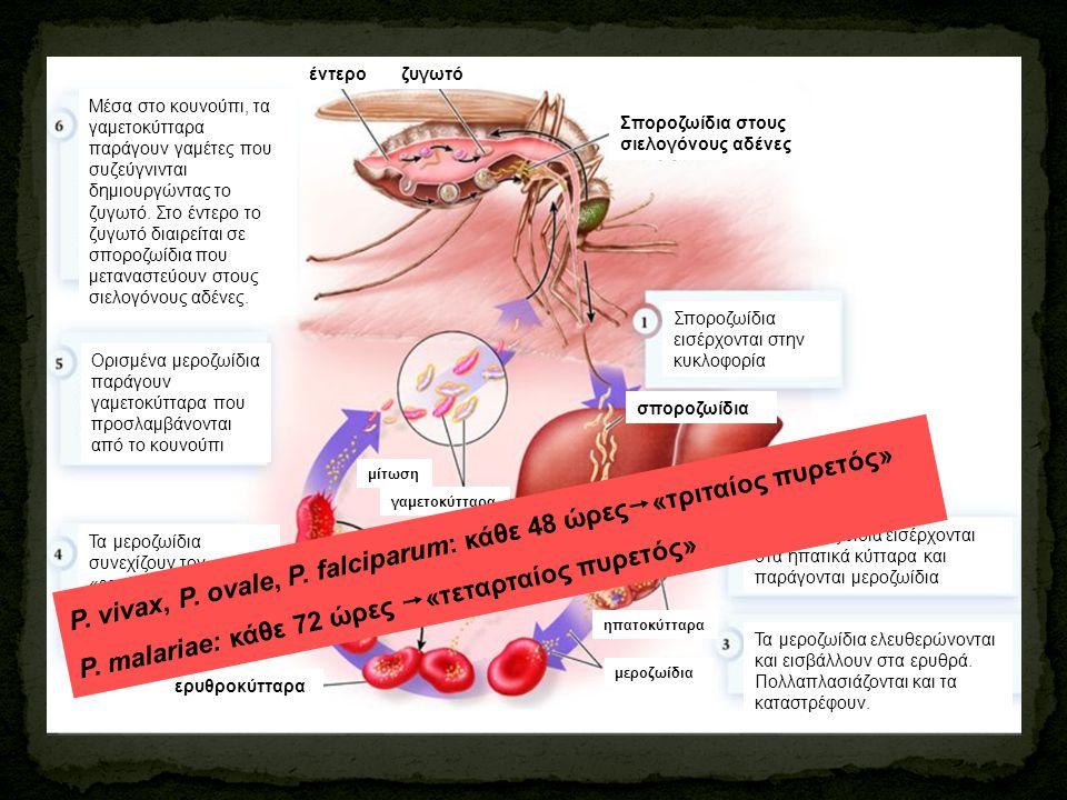 Σποροζωίδια εισέρχονται στην κυκλοφορία Τα σποροζωίδια εισέρχονται στα ηπατικά κύτταρα και παράγονται μεροζωίδια Τα μεροζωίδια ελευθερώνονται και εισβ
