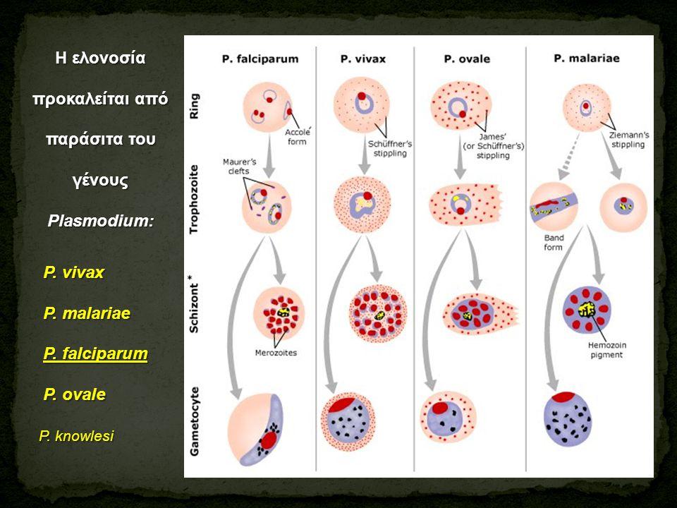 Η ελονοσία προκαλείται από παράσιτα του γένους Plasmodium: P. vivax P. vivax P. malariae P. malariae P. falciparum P. falciparum P. ovale P. ovale P.