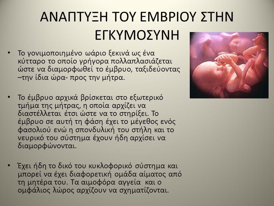 ΑΝΑΠΤΥΞΗ ΤΟΥ ΕΜΒΡΙΟΥ ΣΤΗΝ ΕΓΚΥΜΟΣΥΝΗ • Το γονιμοποιημένο ωάριο ξεκινά ως ένα κύτταρο το οποίο γρήγορα πολλαπλασιάζεται ώστε να διαμορφωθεί το έμβρυο,
