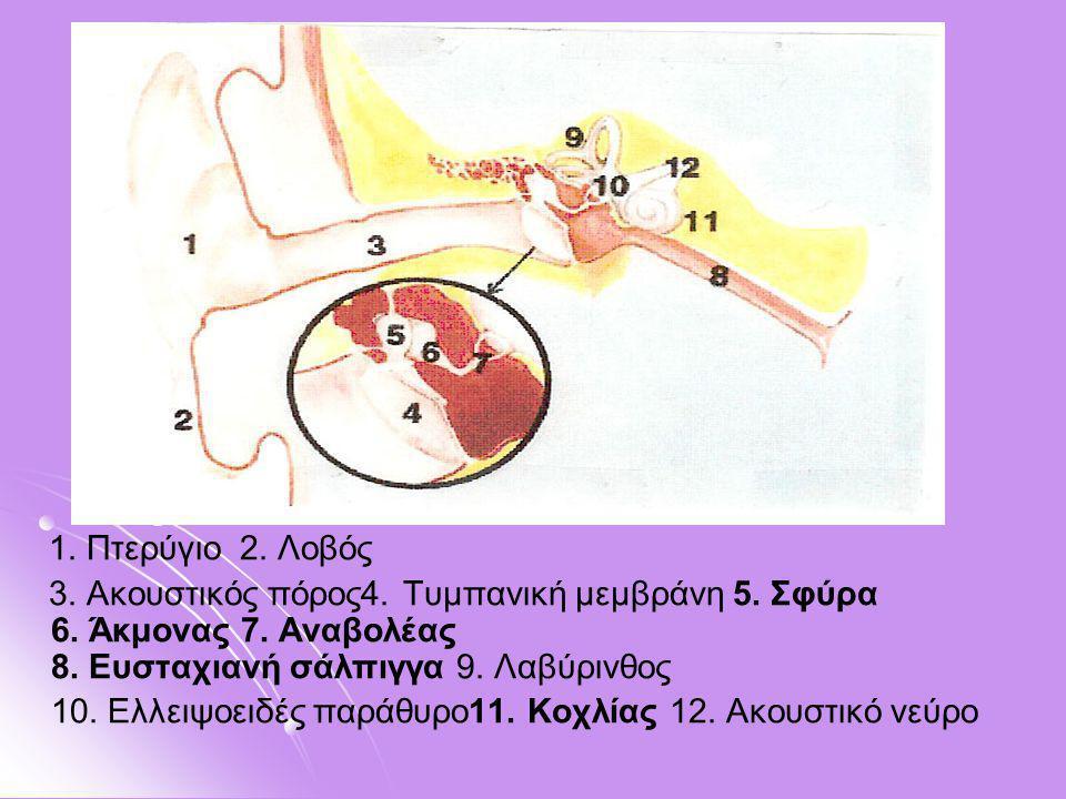 1. Πτερύγιο 2. Λοβός 3. Ακουστικός πόρος4. Τυμπανική μεμβράνη 5. Σφύρα 6. Άκμονας 7. Αναβολέας 8. Ευσταχιανή σάλπιγγα 9. Λαβύρινθος 10. Ελλειψοειδές π