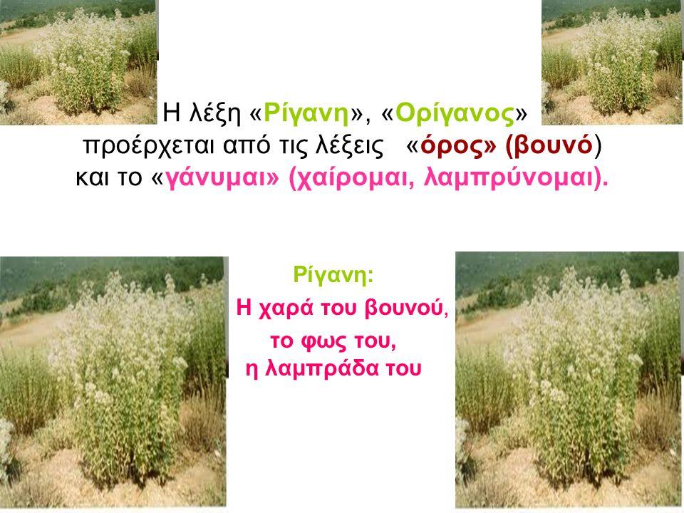 Οι αρχαίοι Έλληνες, χρησιμοποιούσαν τη ρίγανη για τη θεραπεία των ματιών.