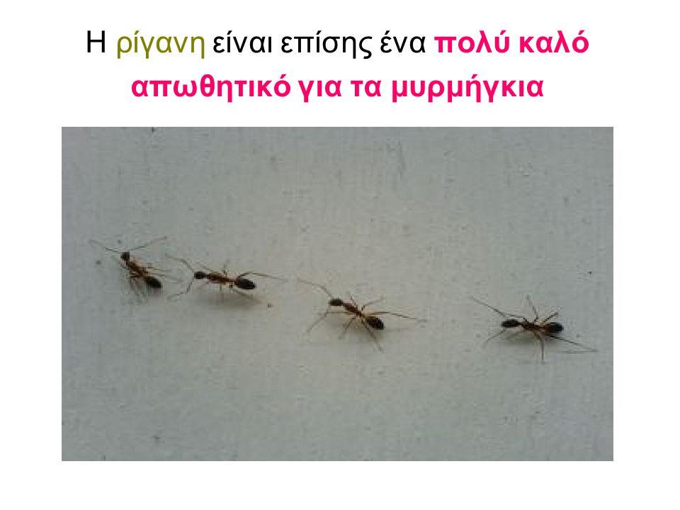 Η ρίγανη είναι επίσης ένα πολύ καλό απωθητικό για τα μυρμήγκια