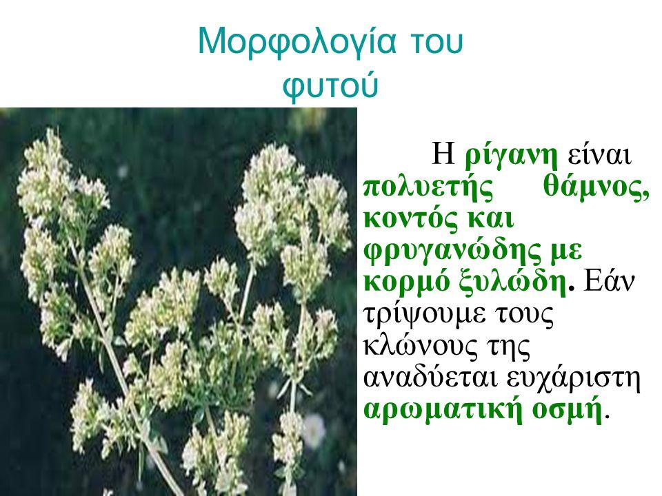 Μορφολογία του φυτού Η ρίγανη είναι πολυετής θάμνος, κοντός και φρυγανώδης με κορμό ξυλώδη. Εάν τρίψουμε τους κλώνους της αναδύεται ευχάριστη αρωματικ