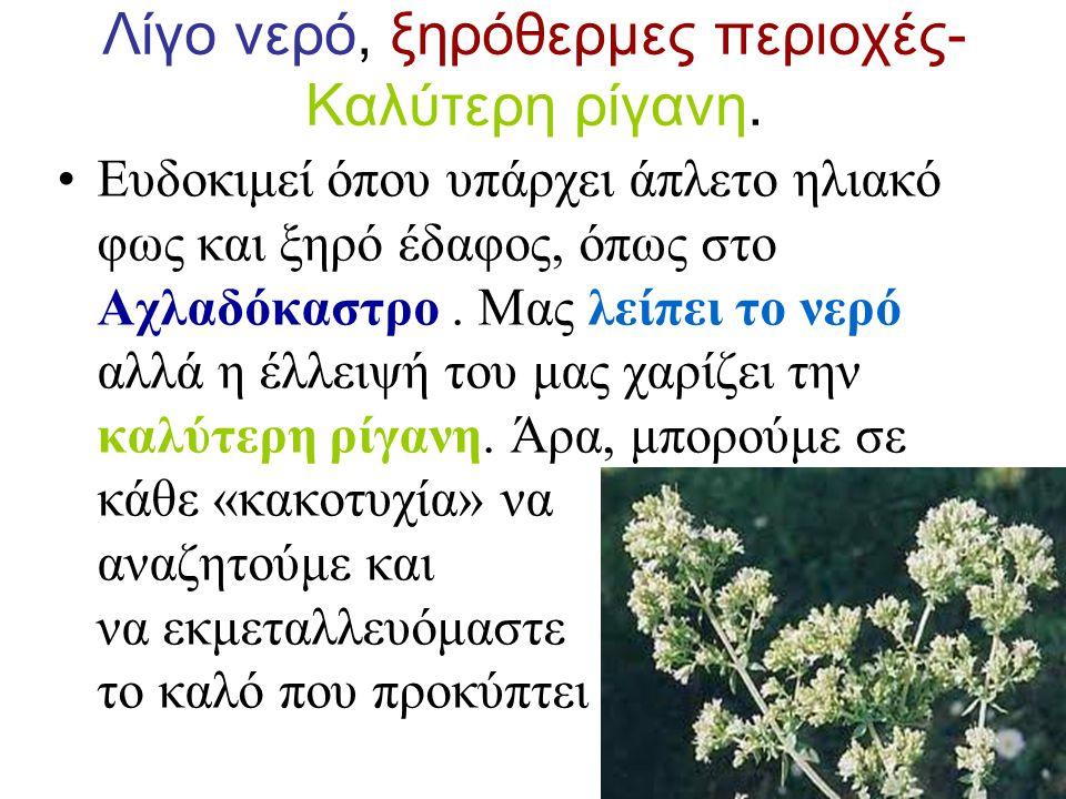 Καλλιέργεια ρίγανης σε χωράφια