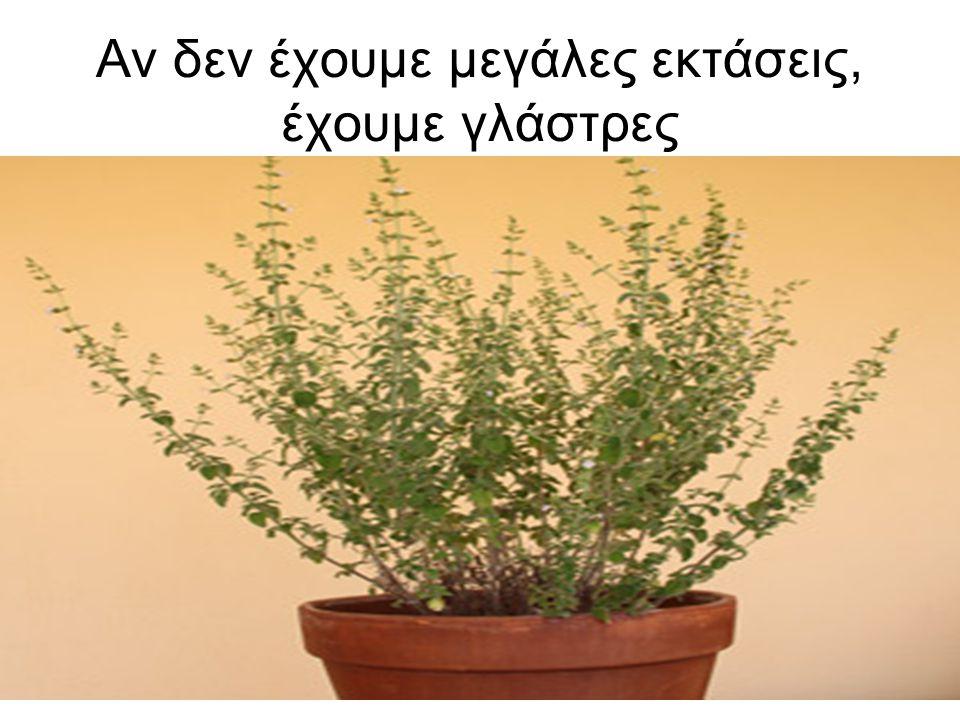 Διαφορές •Η διαφορά είναι ότι το άρωμα της ρίγανης που φυτρώνει μόνη της είναι πολύ πιο έντονο από αυτό της ρίγανης του κοινού εμπορίου (η οποία καλλιεργείται και ποτίζεται).