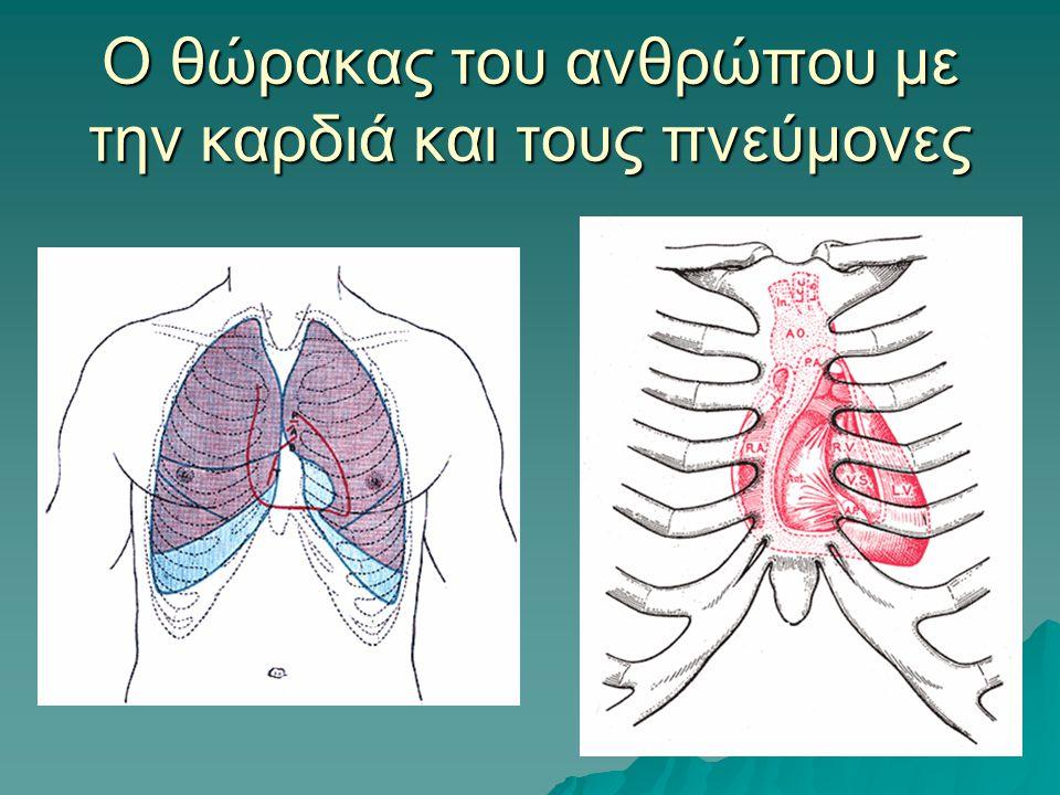 Ο θώρακας του ανθρώπου με την καρδιά και τους πνεύμονες
