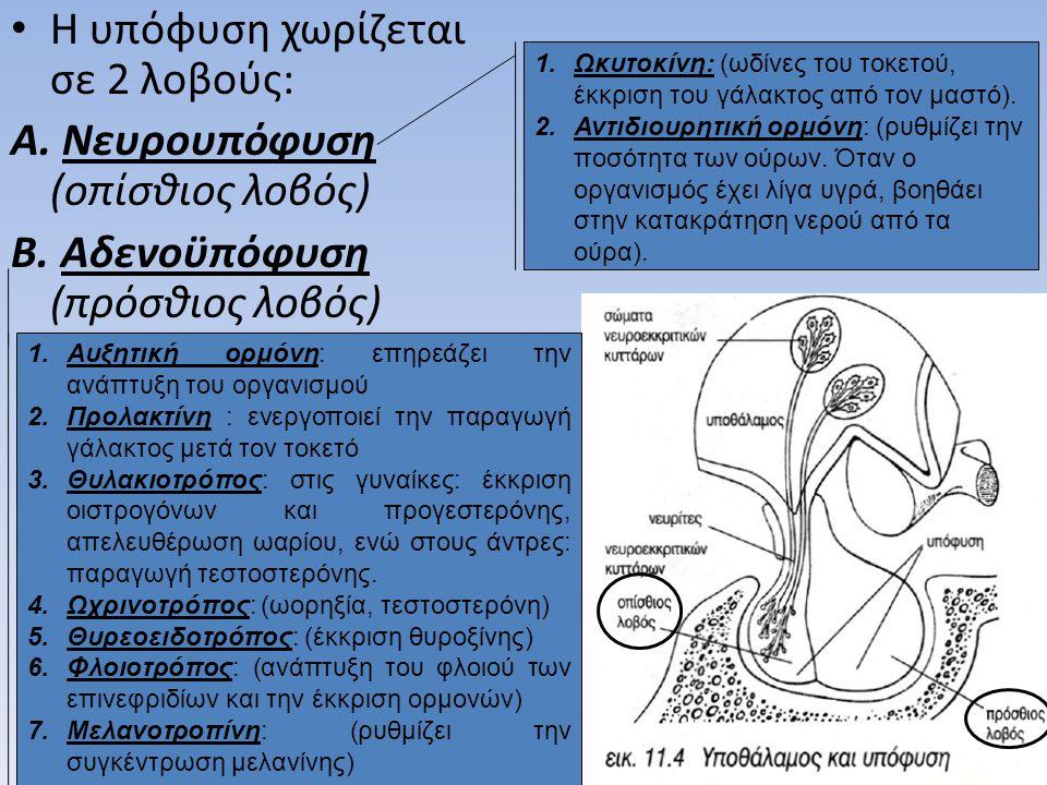 • Η υπόφυση χωρίζεται σε 2 λοβούς: A. Νευρουπόφυση (οπίσθιος λοβός) B. Αδενοϋπόφυση (πρόσθιος λοβός) 1.Ωκυτοκίνη: (ωδίνες του τοκετού, έκκριση του γάλ