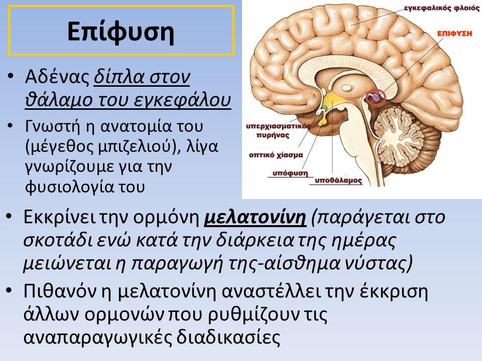 • Αδένας δίπλα στον θάλαμο του εγκεφάλου • Γνωστή η ανατομία του (μέγεθος μπιζελιού), λίγα γνωρίζουμε για την φυσιολογία του Επίφυση • Εκκρίνει την ορ