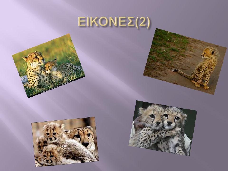  Ο γατόπαρδος ευρέως γνωστός και ως τσίτα ή τσιτάχ  Είναι αιλουροειδές το οποίο κατοικεί σε μεγάλο μέρος της Αφρικής και στη Μέση Ανατολή ΟΟ γατόπαρδος είναι το γρηγορότερο χερσαίο ζώο στον πλανήτη  M πορεί να αναπτύξει ταχύτητα έως 120 Χελμ την ώρα ΕΕίναι είδος προς εξαφάνιση