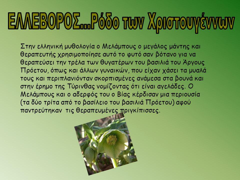 Στην ελληνική μυθολογία ο Μελάμπους ο μεγάλος μάντης και θεραπευτής χρησιμοποίησε αυτό το φυτό σαν βότανο για να θεραπεύσει την τρέλα των θυγατέρων το