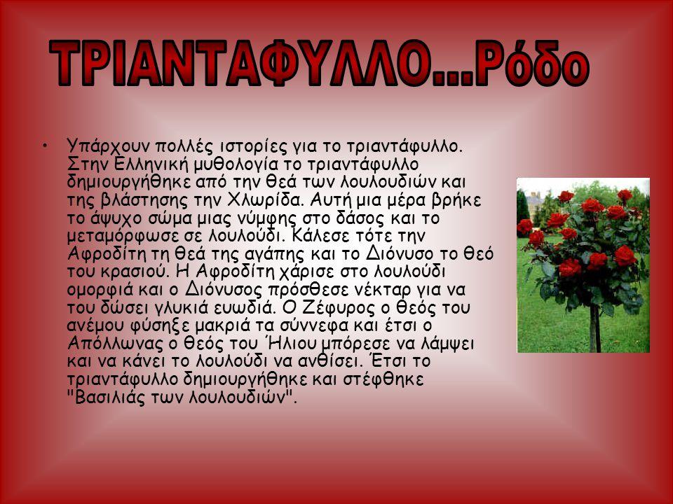 •Υπάρχουν πολλές ιστορίες για το τριαντάφυλλο. Στην Ελληνική μυθολογία το τριαντάφυλλο δημιουργήθηκε από την θεά των λουλουδιών και της βλάστησης την