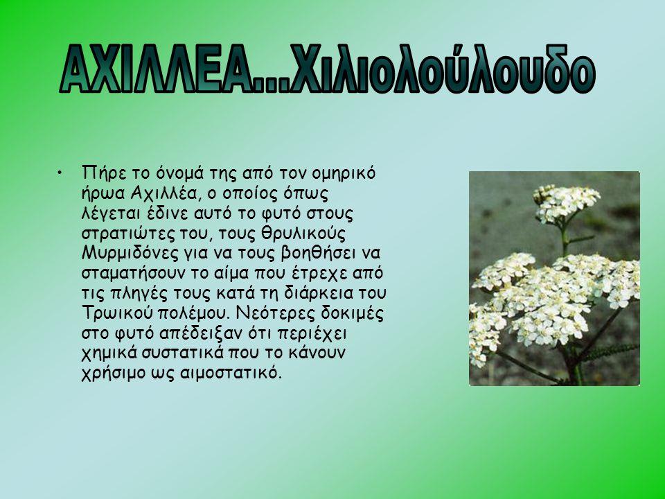 •Πήρε το όνομά της από τον ομηρικό ήρωα Αχιλλέα, ο οποίος όπως λέγεται έδινε αυτό το φυτό στους στρατιώτες του, τους θρυλικούς Μυρμιδόνες για να τους