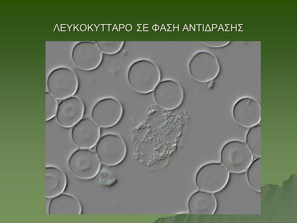 ΛΕΥΚΟΚΥΤΤΑΡΟ ΣΕ ΦΑΣΗ ΑΝΤΙΔΡΑΣΗΣ