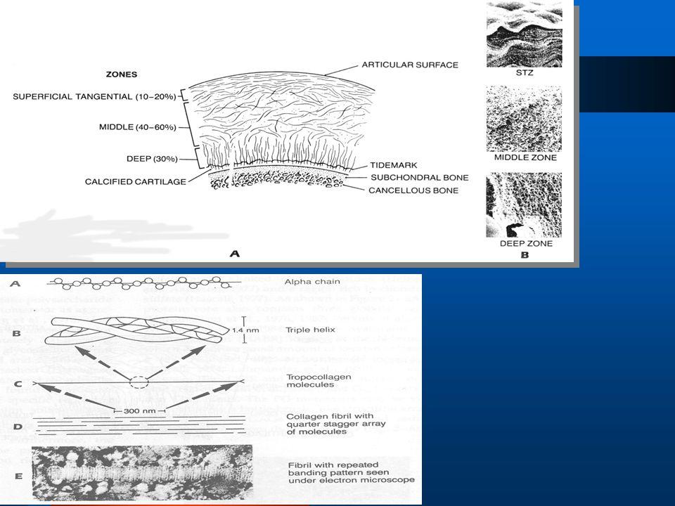 Κολλαγόνο Κολλαγόνο •Η ποιο άφθονη πρωτείνη στο σώμα. •Δομική οργάνωση που προάγει μία ινώδη υπερδομή •Βασική βιολογική μονάδα του κολλαγόνου : τροποκ