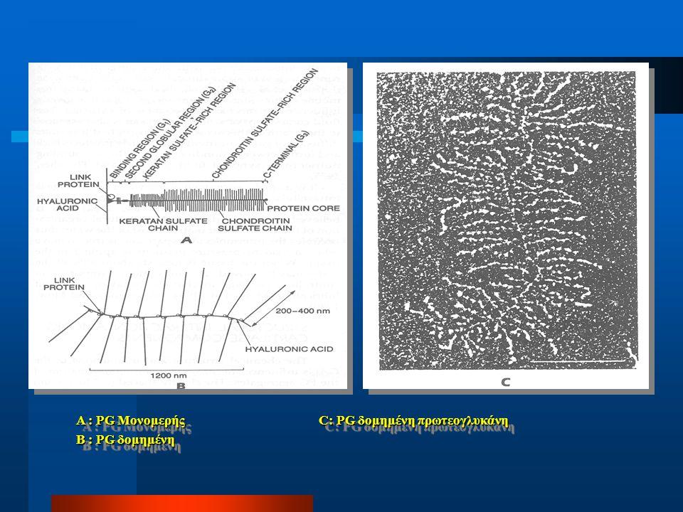 Πρωτεογλυκάνες  Χονδρικές PGs : κυτταρικές δομές πρωτείνη-πολυζακχαρίτης μονομερής ή δομημένη μονομερής ή δομημένη