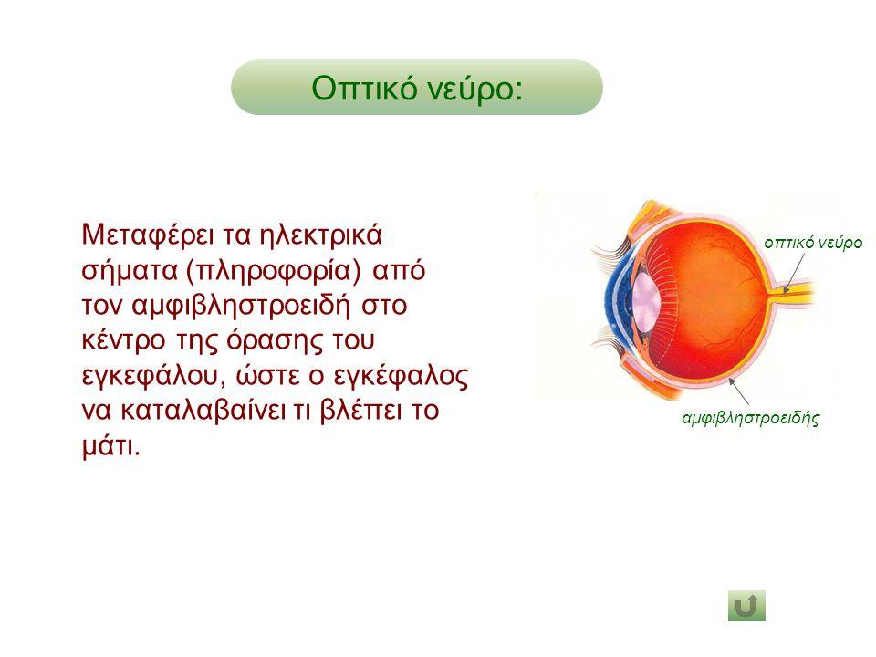 Οπτικό νεύρο: Μεταφέρει τα ηλεκτρικά σήματα (πληροφορία) από τον αμφιβληστροειδή στο κέντρο της όρασης του εγκεφάλου, ώστε ο εγκέφαλος να καταλαβαίνει