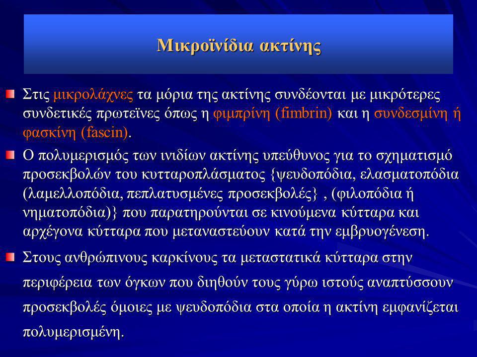 Μικροϊνίδια ακτίνης Στις μικρολάχνες τα μόρια της ακτίνης συνδέονται με μικρότερες συνδετικές πρωτεϊνες όπως η φιμπρίνη (fimbrin) και η συνδεσμίνη ή φ