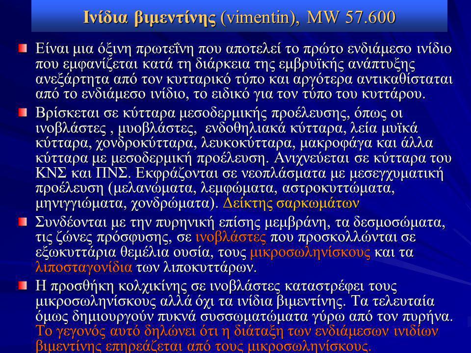 Ινίδια βιμεντίνης (vimentin), MW 57.600 Είναι μια όξινη πρωτεΐνη που αποτελεί το πρώτο ενδιάμεσo ινίδιο που εμφανίζεται κατά τη διάρκεια της εμβρυϊκής