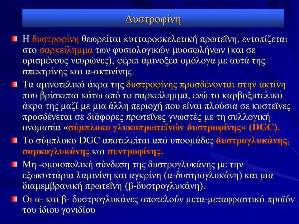 Δυστροφίνη Η δυστροφίνη θεωρείται κυτταροσκελετική πρωτεΐνη, εντοπίζεται στο σαρκείλημμα των φυσιολογικών μυοσωλήνων (και σε ορισμένους νευρώνες), φέρει αμινοξέα ομόλογα με αυτά της σπεκτρίνης και α-ακτινίνης.