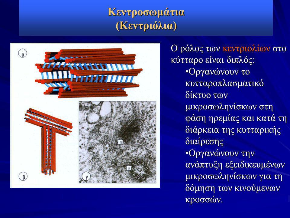 Κεντροσωμάτια (Κεντριόλια) Ο ρόλος των κεντριολίων στο κύτταρο είναι διπλός: •Οργανώνουν το κυτταροπλασματικό δίκτυο των μικροσωληνίσκων στη φάση ηρεμίας και κατά τη διάρκεια της κυτταρικής διαίρεσης •Οργανώνουν την ανάπτυξη εξειδικευμένων μικροσωληνίσκων για τη δόμηση των κινούμενων κροσσών.