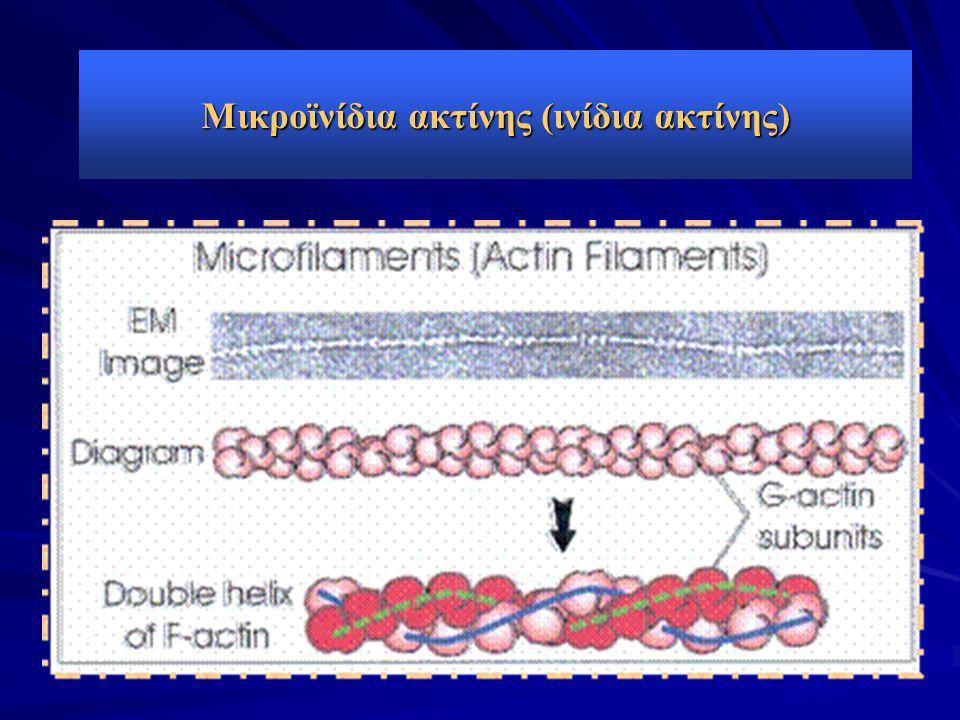 Μικροϊνίδια ακτίνης (ινίδια ακτίνης)
