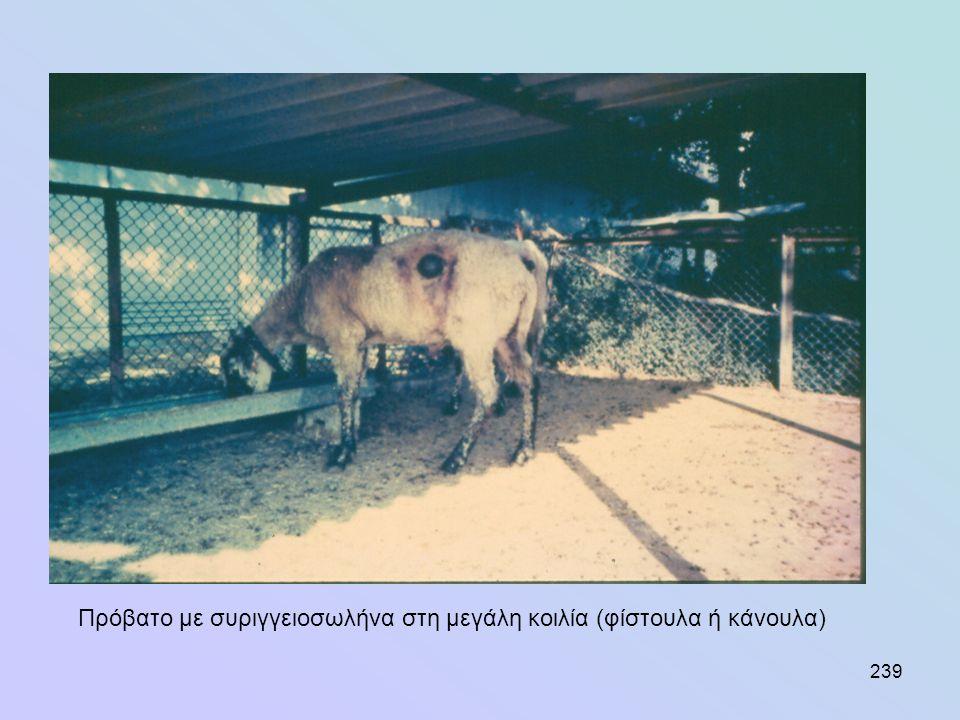 239 Πρόβατο με συριγγειοσωλήνα στη μεγάλη κοιλία (φίστουλα ή κάνουλα)