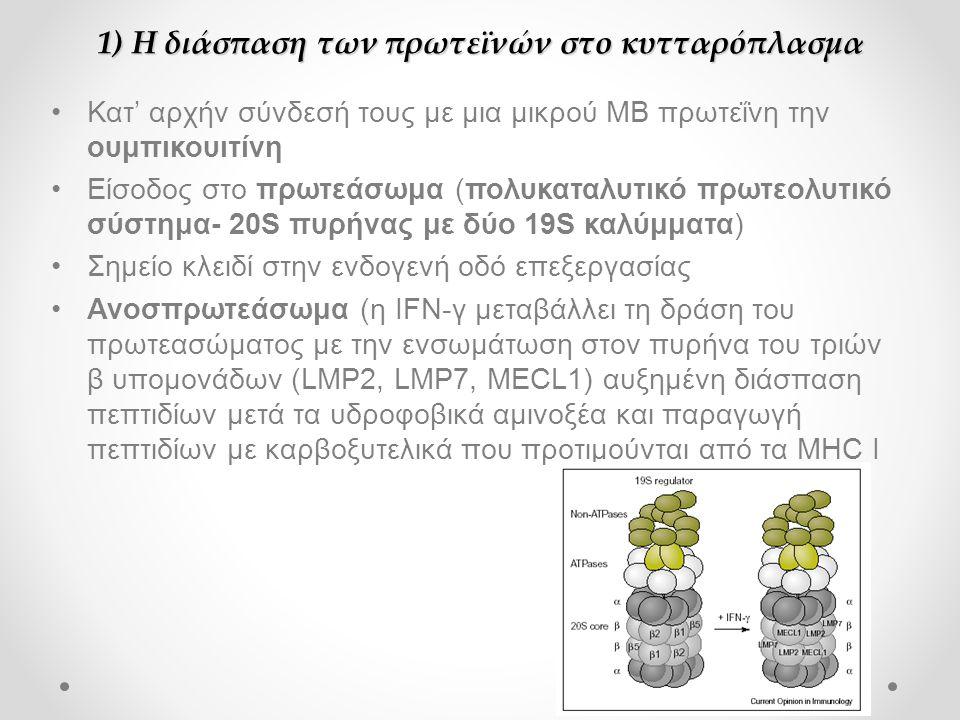 1) Η διάσπαση των πρωτεϊνών στο κυτταρόπλασμα •Κατ' αρχήν σύνδεσή τους με μια μικρού ΜΒ πρωτεΐνη την ουμπικουιτίνη •Είσοδος στο πρωτεάσωμα (πολυκαταλυτικό πρωτεολυτικό σύστημα- 20S πυρήνας με δύο 19S καλύμματα) •Σημείο κλειδί στην ενδογενή οδό επεξεργασίας •Ανοσπρωτεάσωμα (η IFN-γ μεταβάλλει τη δράση του πρωτεασώματος με την ενσωμάτωση στον πυρήνα του τριών β υπομονάδων (LMP2, LMP7, MECL1) αυξημένη διάσπαση πεπτιδίων μετά τα υδροφοβικά αμινοξέα και παραγωγή πεπτιδίων με καρβοξυτελικά που προτιμούνται από τα MHC I