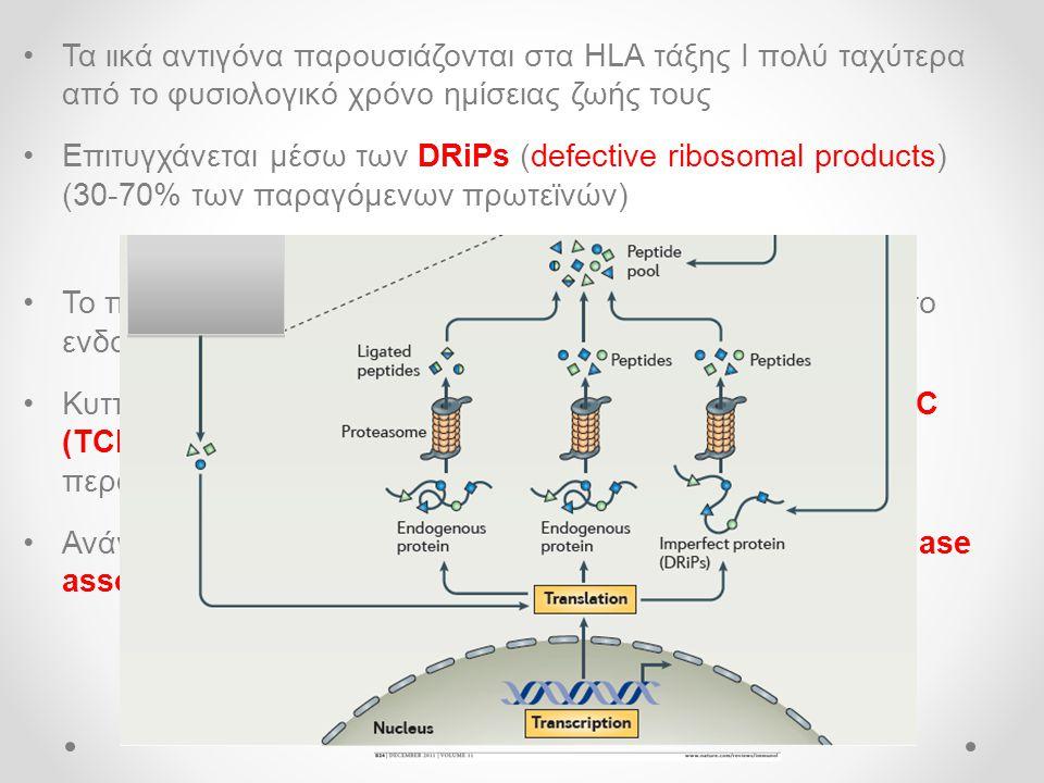 •Τα ιικά αντιγόνα παρουσιάζονται στα HLA τάξης Ι πολύ ταχύτερα από το φυσιολογικό χρόνο ημίσειας ζωής τους •Επιτυγχάνεται μέσω των DRiPs (defective ribosomal products) (30-70% των παραγόμενων πρωτεϊνών) •Το πρωτεάσωμα παράγει πεπτίδια τα οποία είναι έτοιμα για το ενδοπλασματικό δίκτυο (ΕΔ) •Κυτταρικές πρωτεΐνες (chaperons) όπως το σύμπλεγμα TRiC (TCP-1 ring complex) προστατεύει αυτά τα πεπτίδια από περαιτέρω διάσπαση •Ανάγκη δράσης της αμινοπεπτιδάσης ERAAP (aminopeptidase associated with antigen processing) στο ΕΔ