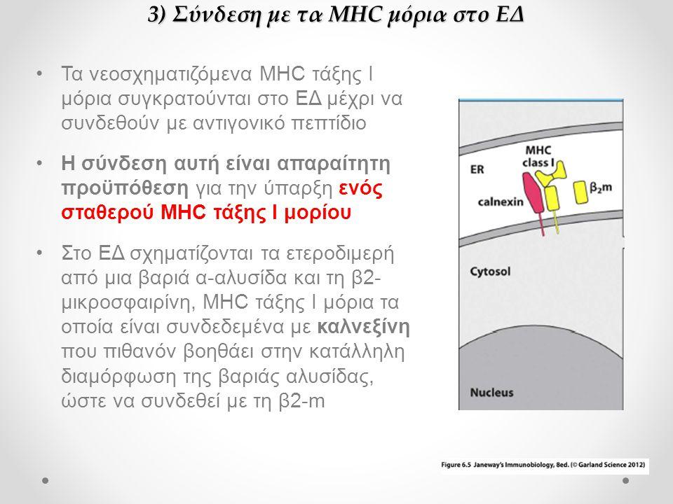•Τα νεοσχηματιζόμενα MHC τάξης Ι μόρια συγκρατούνται στο ΕΔ μέχρι να συνδεθούν με αντιγονικό πεπτίδιο •Η σύνδεση αυτή είναι απαραίτητη προϋπόθεση για την ύπαρξη ενός σταθερού MHC τάξης Ι μορίου •Στο ΕΔ σχηματίζονται τα ετεροδιμερή από μια βαριά α-αλυσίδα και τη β2- μικροσφαιρίνη, MHC τάξης Ι μόρια τα οποία είναι συνδεδεμένα με καλνεξίνη που πιθανόν βοηθάει στην κατάλληλη διαμόρφωση της βαριάς αλυσίδας, ώστε να συνδεθεί με τη β2-m 3) Σύνδεση με τα MHC μόρια στο ΕΔ