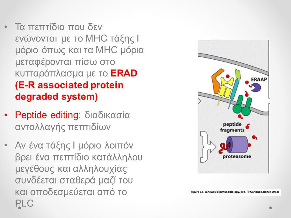 •Τα πεπτίδια που δεν ενώνονται με το MHC τάξης Ι μόριο όπως και τα MHC μόρια μεταφέρονται πίσω στο κυτταρόπλασμα με το ERAD (E-R associated protein degraded system) •Peptide editing: διαδικασία ανταλλαγής πεπτιδίων •Αν ένα τάξης Ι μόριο λοιπόν βρει ένα πεπτίδιο κατάλληλου μεγέθους και αλληλουχίας συνδέεται σταθερά μαζί του και αποδεσμεύεται από το PLC