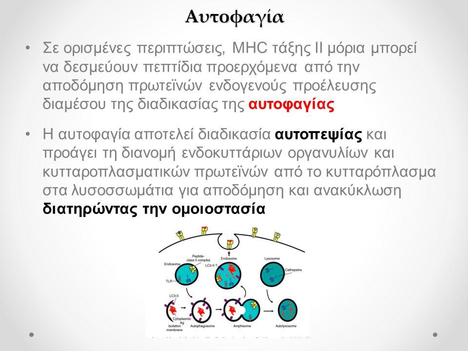 Αυτοφαγία •Σε ορισμένες περιπτώσεις, MHC τάξης ΙΙ μόρια μπορεί να δεσμεύουν πεπτίδια προερχόμενα από την αποδόμηση πρωτεϊνών ενδογενούς προέλευσης διαμέσου της διαδικασίας της αυτοφαγίας •Η αυτοφαγία αποτελεί διαδικασία αυτοπεψίας και προάγει τη διανομή ενδοκυττάριων οργανυλίων και κυτταροπλασματικών πρωτεϊνών από το κυτταρόπλασμα στα λυσοσσωμάτια για αποδόμηση και ανακύκλωση διατηρώντας την ομοιοστασία