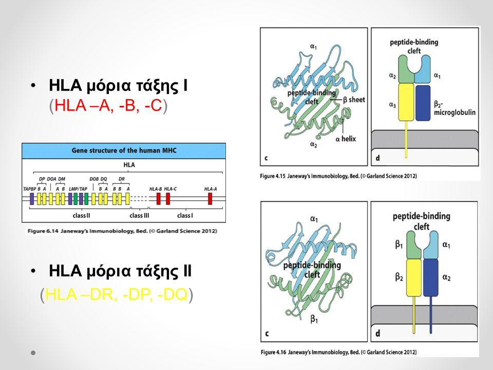 •HLA μόρια τάξης Ι (HLA –A, -B, -C) •HLA μόρια τάξης ΙΙ (HLA –DR, -DP, -DQ)