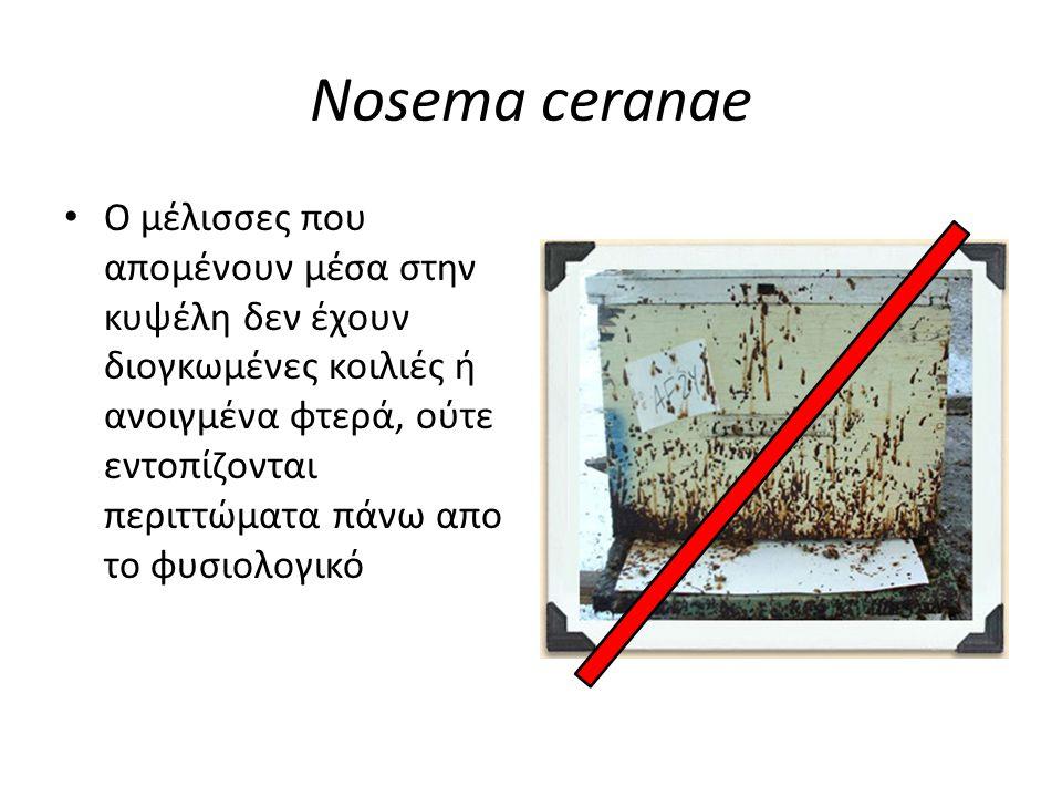 Nosema ceranae • Ο μέλισσες που απομένουν μέσα στην κυψέλη δεν έχουν διογκωμένες κοιλιές ή ανοιγμένα φτερά, ούτε εντοπίζονται περιττώματα πάνω απο το