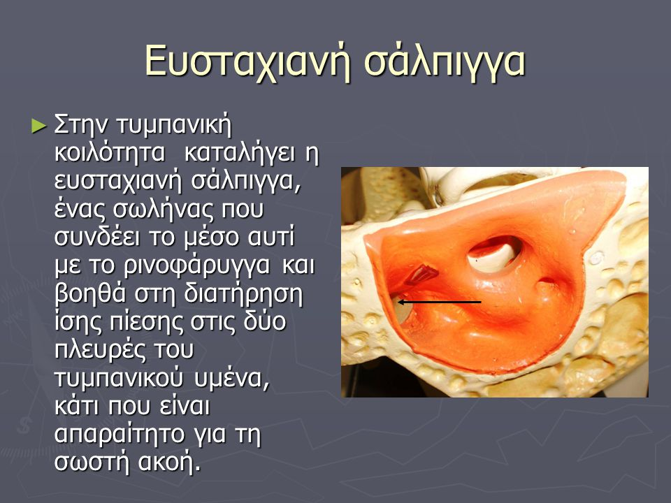Ευσταχιανή σάλπιγγα ► Στην τυμπανική κοιλότητα καταλήγει η ευσταχιανή σάλπιγγα, ένας σωλήνας που συνδέει το μέσο αυτί με το ρινοφάρυγγα και βοηθά στη