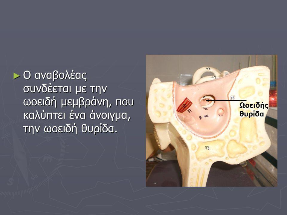 ► Ο αναβολέας συνδέεται με την ωοειδή μεμβράνη, που καλύπτει ένα άνοιγμα, την ωοειδή θυρίδα. Ωοειδής θυρίδα