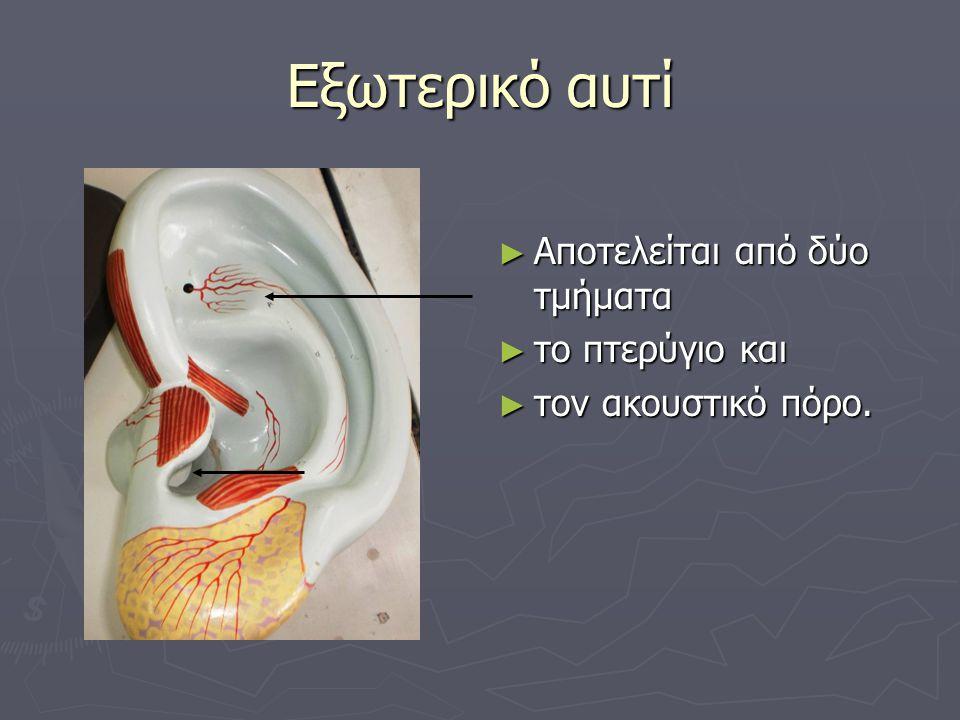 Εξωτερικό αυτί ► Αποτελείται από δύο τμήματα ► το πτερύγιο και ► τον ακουστικό πόρο.