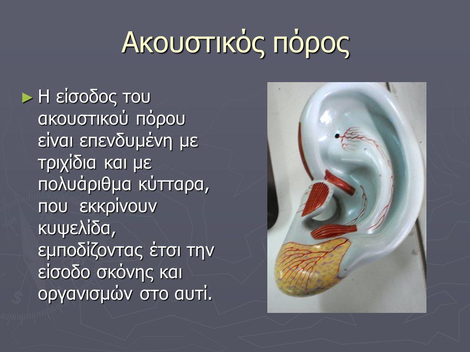 Ακουστικός πόρος ► Η είσοδος του ακουστικού πόρου είναι επενδυμένη με τριχίδια και με πολυάριθμα κύτταρα, που εκκρίνουν κυψελίδα, εμποδίζοντας έτσι τη