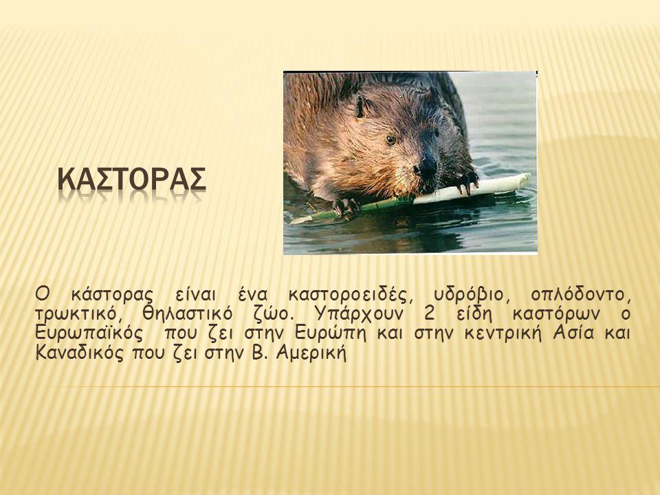 Ο κάστορας είναι ένα καστοροειδές, υδρόβιο, οπλόδοντο, τρωκτικό, θηλαστικό ζώο. Υπάρχουν 2 είδη καστόρων ο Ευρωπαϊκός που ζει στην Ευρώπη και στην κεν