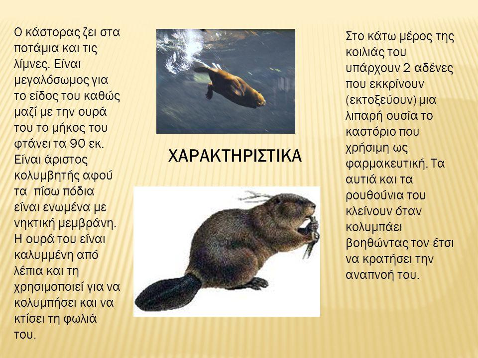 ΧΑΡΑΚΤΗΡΙΣΤΙΚΑ Ο κάστορας ζει στα ποτάμια και τις λίμνες. Είναι μεγαλόσωμος για το είδος του καθώς μαζί με την ουρά του το μήκος του φτάνει τα 90 εκ.