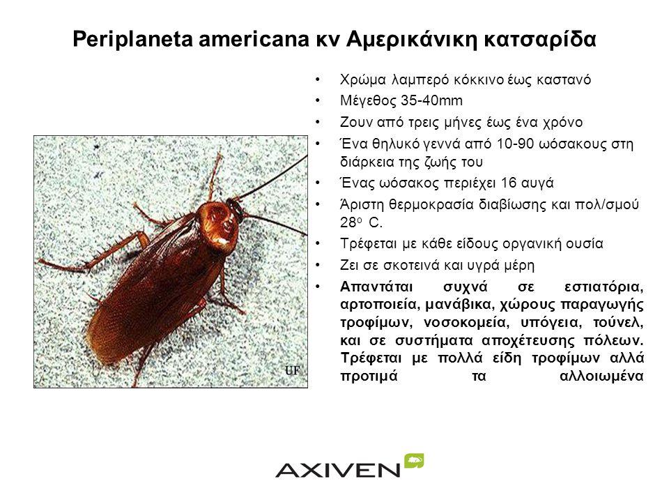 Periplaneta americana κν Αμερικάνικη κατσαρίδα •Χρώμα λαμπερό κόκκινο έως καστανό •Μέγεθος 35-40mm •Ζουν από τρεις μήνες έως ένα χρόνο •Ένα θηλυκό γεννά από 10-90 ωόσακους στη διάρκεια της ζωής του •Ένας ωόσακος περιέχει 16 αυγά •Άριστη θερμοκρασία διαβίωσης και πολ/σμού 28 ο C.