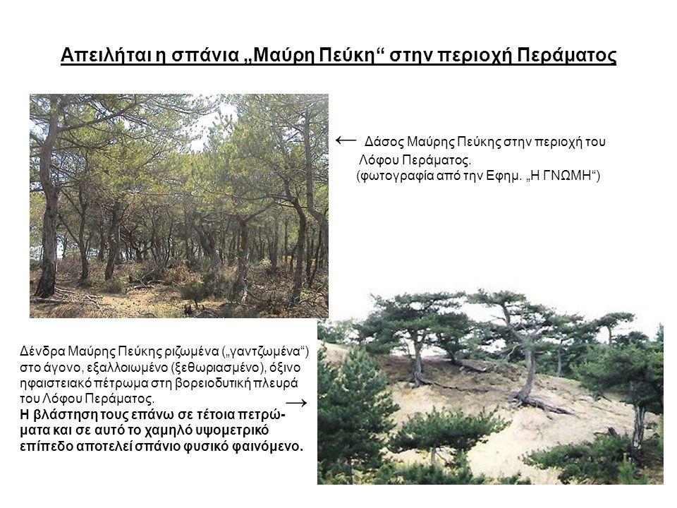 """Απειλήται η σπάνια """"Μαύρη Πεύκη"""" στην περιοχή Περάματος ← Δάσος Μαύρης Πεύκης στην περιοχή του Λόφου Περάματος. (φωτογραφία από την Εφημ. """"Η ΓΝΩΜΗ"""") Δ"""