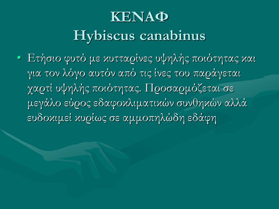 ΚΕΝΑΦ Hybiscus canabinus •Ετήσιο φυτό με κυτταρίνες υψηλής ποιότητας και για τον λόγο αυτόν από τις ίνες του παράγεται χαρτί υψηλής ποιότητας.