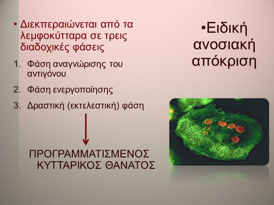 •Ειδική ανοσιακή απόκριση •Διεκπεραιώνεται από τα λεμφοκύτταρα σε τρεις διαδοχικές φάσεις 1.Φάση αναγνώρισης του αντιγόνου 2.Φάση ενεργοποίησης 3.Δρασ
