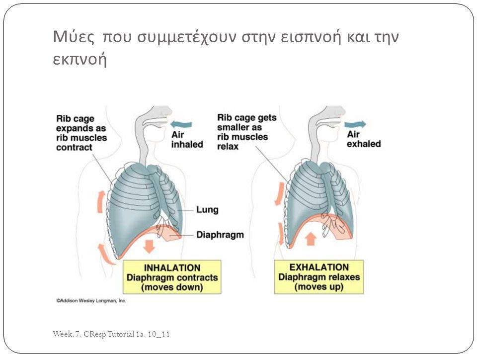 Week.7. CResp Tutorial 1a. 10_11 3 Μύες που συμμετέχουν στην εισπνοή και την εκπνοή