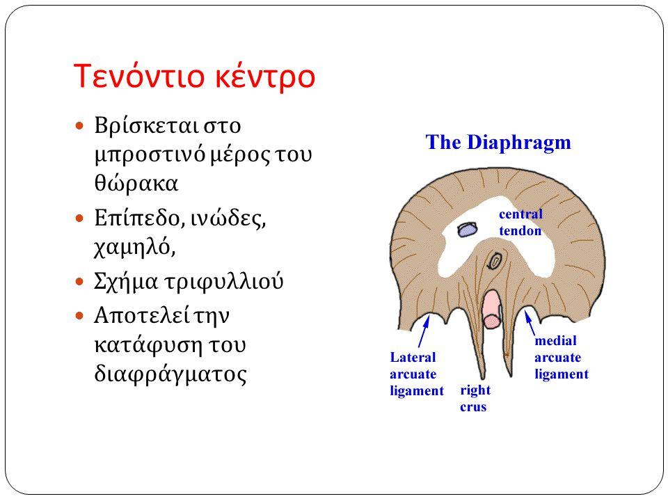 Τενόντιο κέντρο  Βρίσκεται στο μπροστινό μέρος του θώρακα  Επίπεδο, ινώδες, χαμηλό,  Σχήμα τριφυλλιού  Αποτελεί την κατάφυση του διαφράγματος