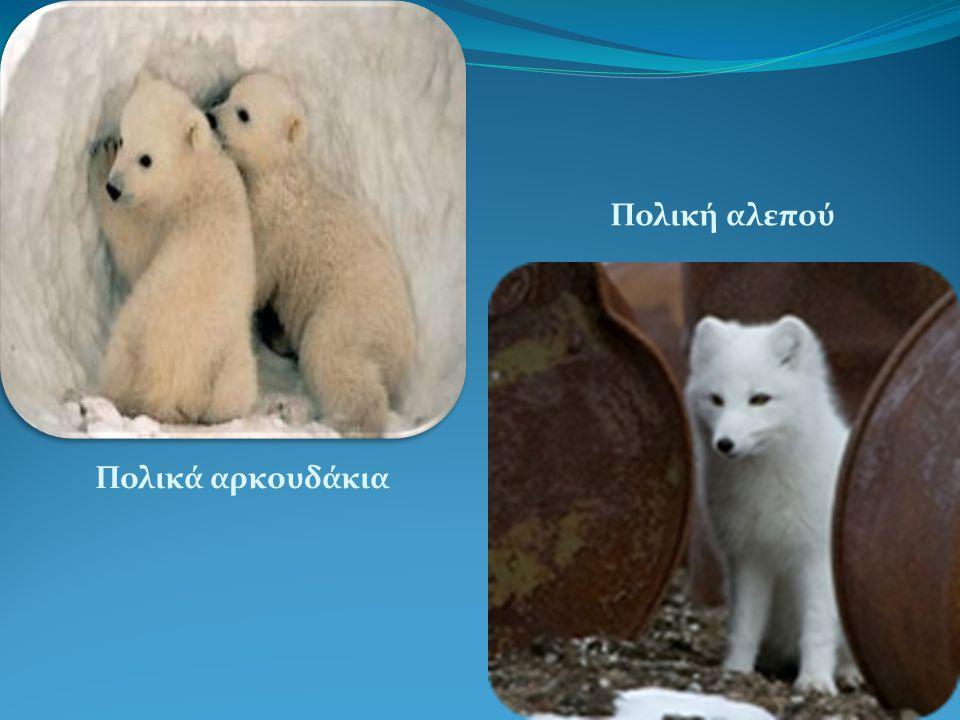 Πολικά αρκουδάκια Πολική αλεπού