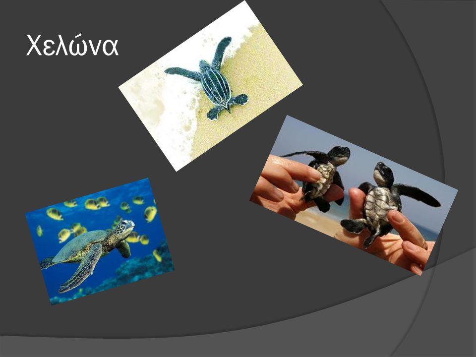 Πληροφορίες για τη χελώνα  Χρειάζεται νερό, αλλά όχι συνέχεια  Τρώει τσούχτρες και φύλλα  Έχουνε λέπια σαν τα ψάρια  Σκάβουν λακκούβες για τα αυγά τους